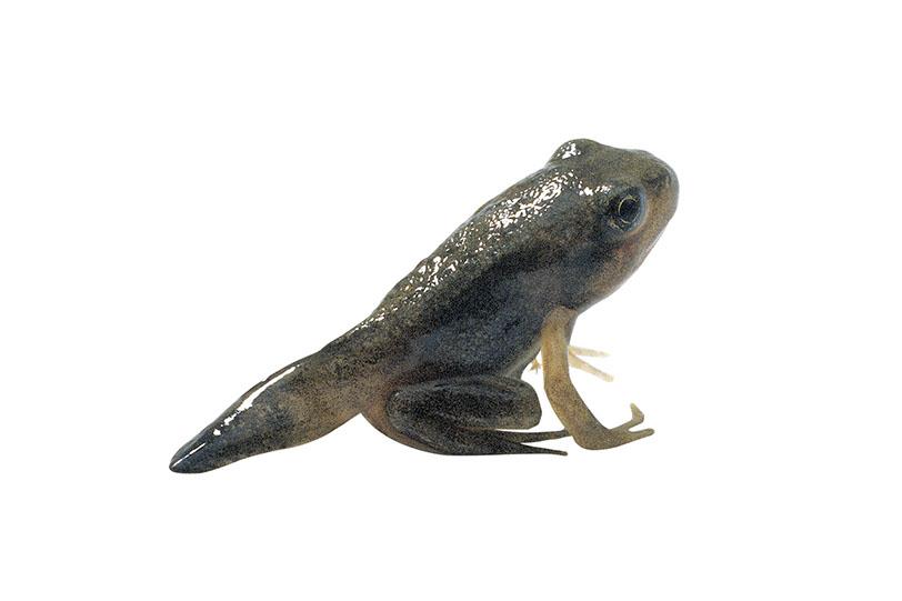 El ciclo de vida de los anfibios