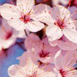 cerezos en flor en Japón y en el valle del jerte hanami