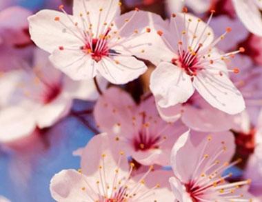 Bajo Las Flores Del Cerezo Fundación Aquae