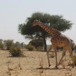 El área del Parque Nacional de la W, situada entre Níger, Benin y Burkina Faso, abarca un sector de transición entre sabanas y bosques ralos.