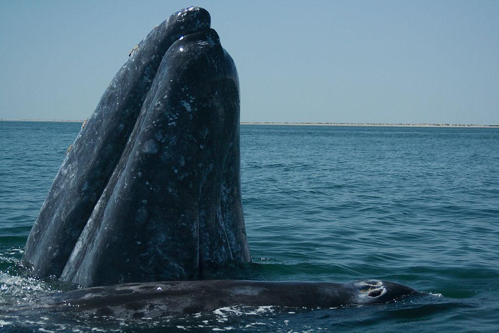 La muerte de una ballena con 40 kilos de plástico en el estómago
