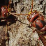 El avispón europeo es un insecto que posee cinco ojos