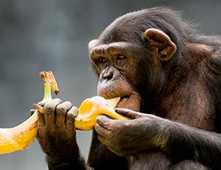 experimento con monos y bananas