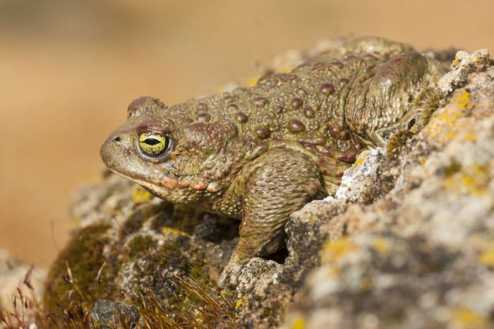 El sapo corredor es uno de los anfibios más curiosos del mundo.