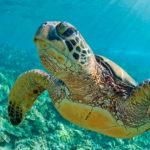 La tortuga verde que habita en canarias