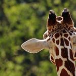 La foto de una niña americana posando al lado de una jirafa muerta a la que de abatir reabre el debate sobre la caza en el mundo salvaje.
