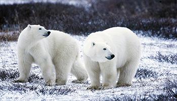 el oso polar y cambio climático
