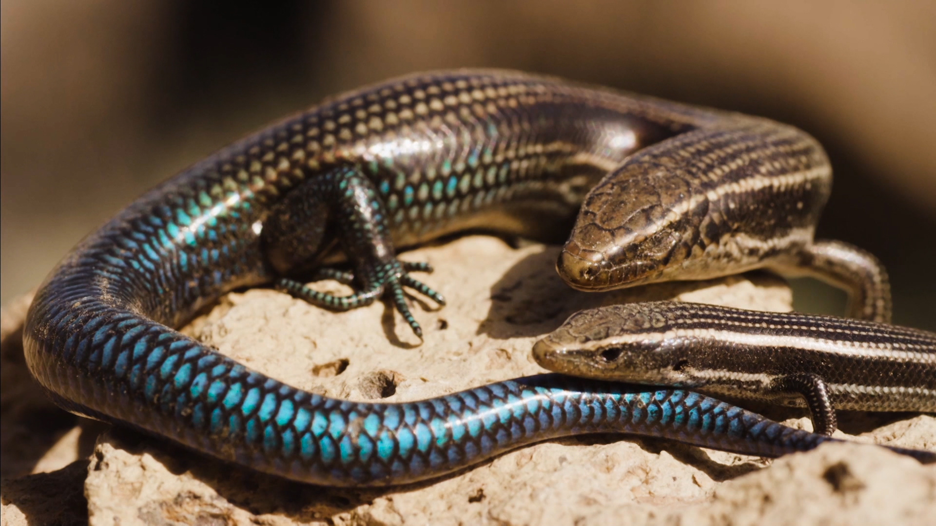 Chalcides sexlineatus o lisa grancanaria: un lagarto endémico desconocido