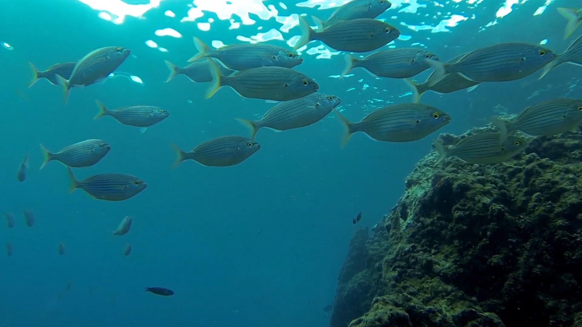 Las salpas son grandes protectoras de los fondos marinos.