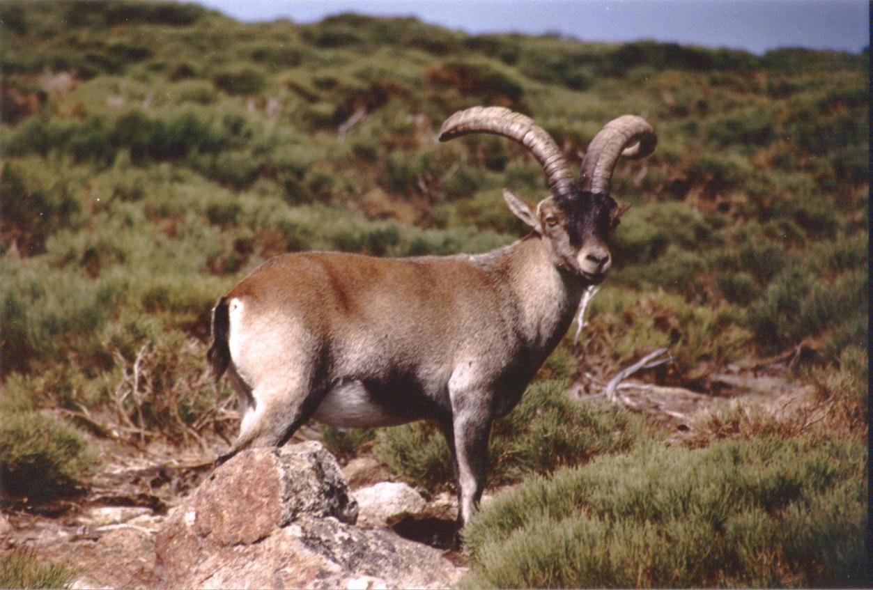 La cabra montés habita en las áreas montañosas españolas y el norte de Portugal