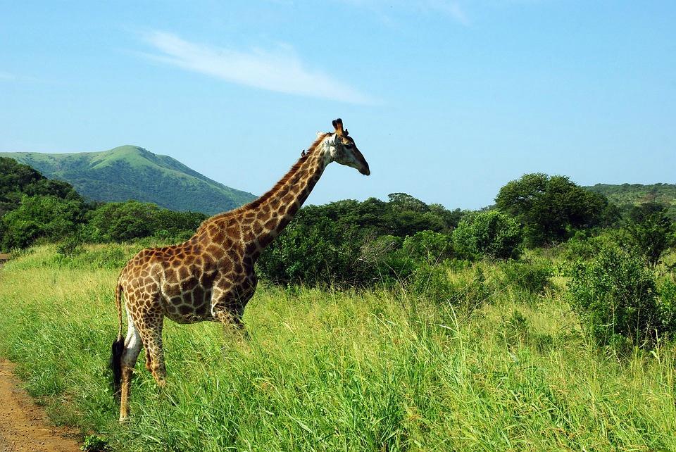 La jirafa, en peligro de extinción