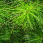 cómo se llaman las hojas de los pinos