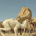 Los camellos, animales adaptados a la aridez del desierto