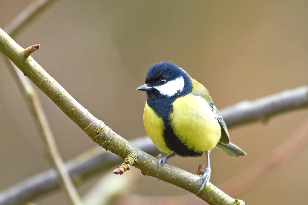 El carbonero común, es una especie de ave perteneciente a la familia de los paridos, que se caracteriza por su llamativo plumaje