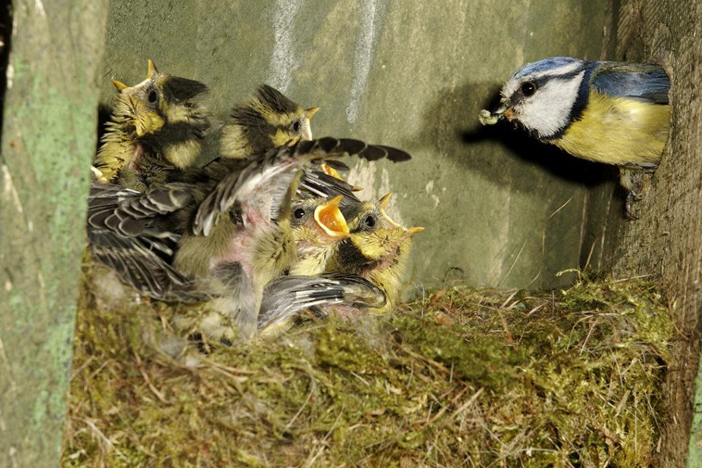 El carbonero común, una especie pertenciente a la familia de los paridos, alimenta a sus crías durante 20 días antes de que abandonen el nido