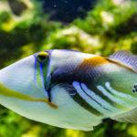 El pez ballesta, o Balistidae, es una especie solitaria y diurnas