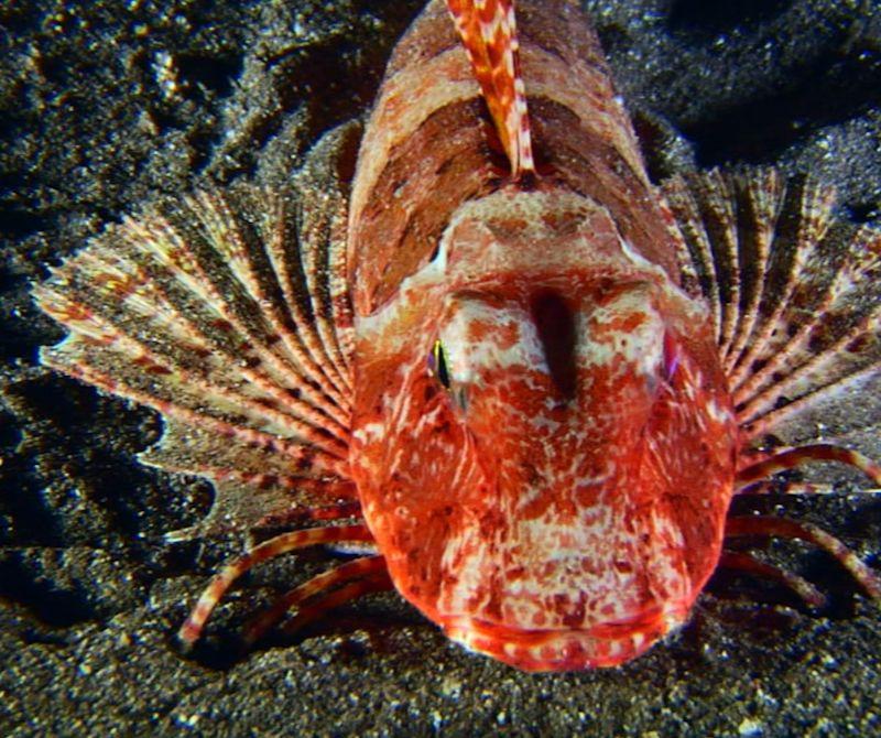 escacho o pez rubio