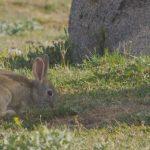 El conejo común es un mamífero que ayuda a la siembra