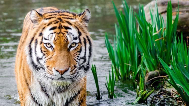 El tigre es una de las especies animales en peligro de extinción