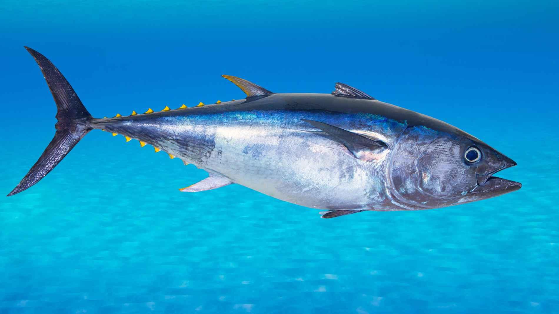 Uno de los animales en peligro de extinción es el atún rojo