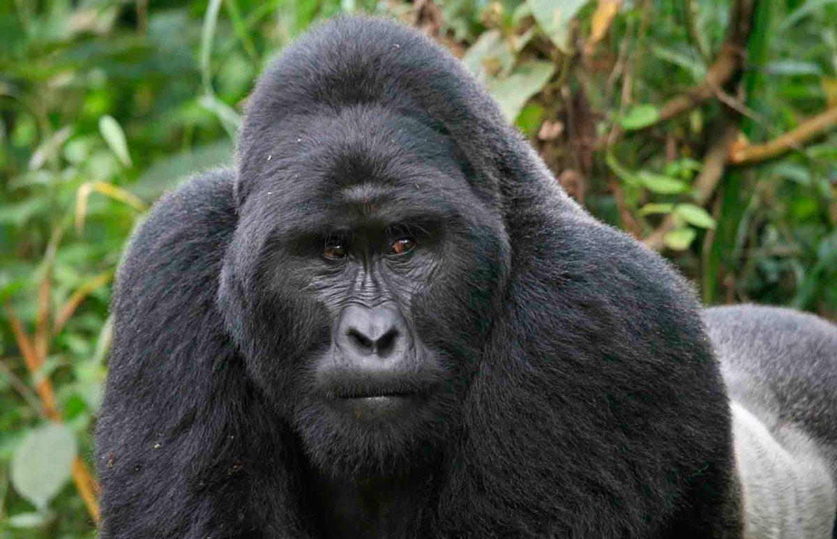 Gorila de montaña es una de las especies animales en peligro de extinción