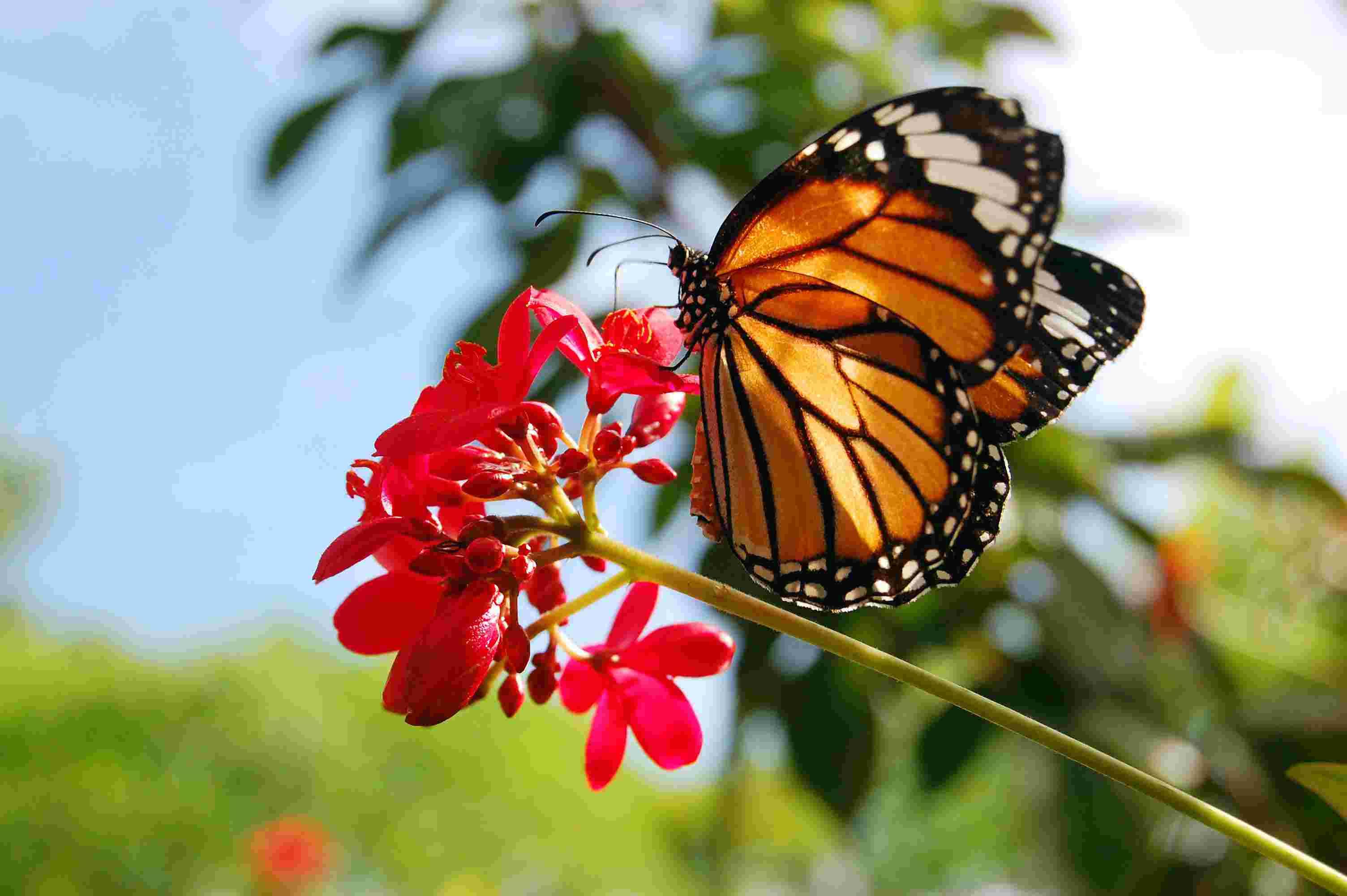 Uno de los animales en peligro de extinción es el mariposa monarca