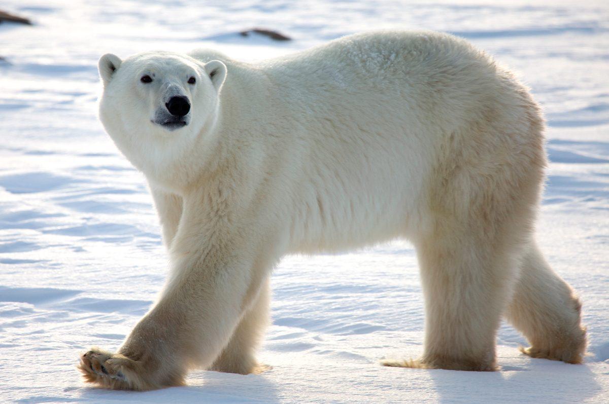 Uno de los animales en peligro de extinción es el oso polar