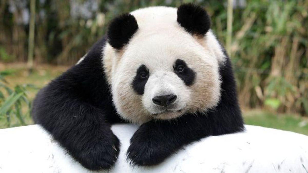 Panda gigante es una de las especies animales en peligro de extinción