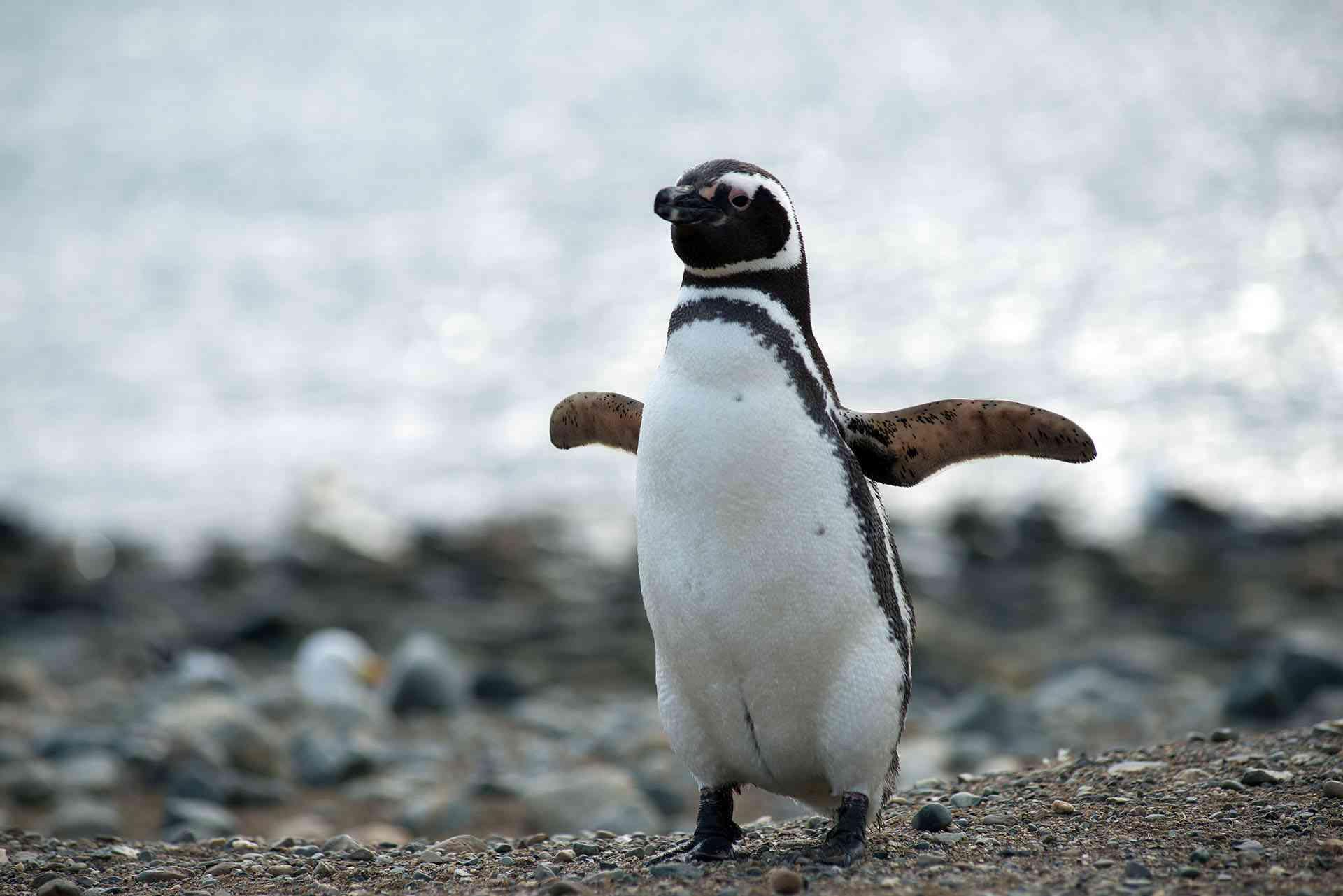 Uno de los animales en peligro de extinción es el pingüino de Magallanes