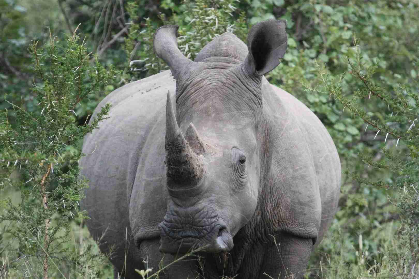 Rinoceronte de Java es uno de las especies animales en peligro de extinción