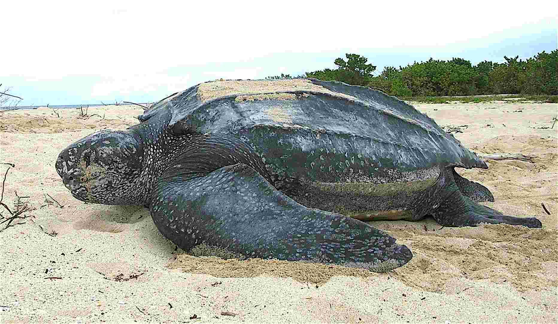 Uno de los animales en peligro de extinción es el tortuga laúd