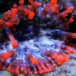 La anémona gigante sirve de refugio para multitud de especies marinas