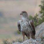 El águila perdicera es un ave rapaz que se caracteriza por ser fiel al lugar donde habita