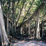 baniano en la reserva de kadiri