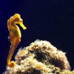 El caballito de mar es una especie difícil de ver por su escasez y mimetismo