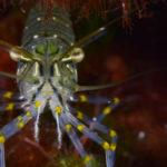 El camarón de roca juega un papel fundamental en el ecosistema marino