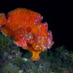 El pez rana cuenta con varias fases de colores.