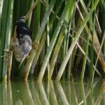 El avetorillo es una enigmática ave que habita en los humedales