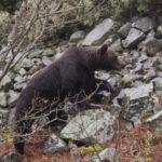 El oso pardo es el animal terrestre más grande de la fauna ibérica