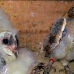 La lechuza común es una de las aves nocturnas por excelencia