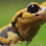 La salamandra común es un anfibio vistoso y venenoso