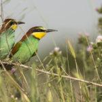 El abejaruco es un ave que pierde el pico al construir su nido