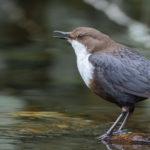 El mirlo acuático es una especie de ave que bucea