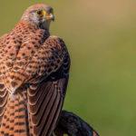 El cernícalo vulgar es un ave rapaz propio de la campiña ibérica