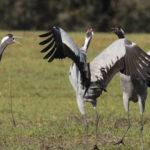 La grulla común es un ave migratoria y monógama
