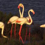 El flamenco es un ave rosada que se agrupa en colonias