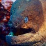 Las morenas se han convertido en la pesadilla nocturna de los mares