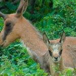 El rebeco es un mamífero presente en las principales cordilleras de Europa