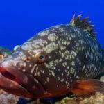 El mero es un pez carnívoro y hermafrodita