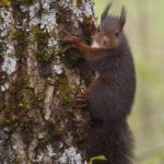 La ardilla roja es un roedor capaz de predecir temporales